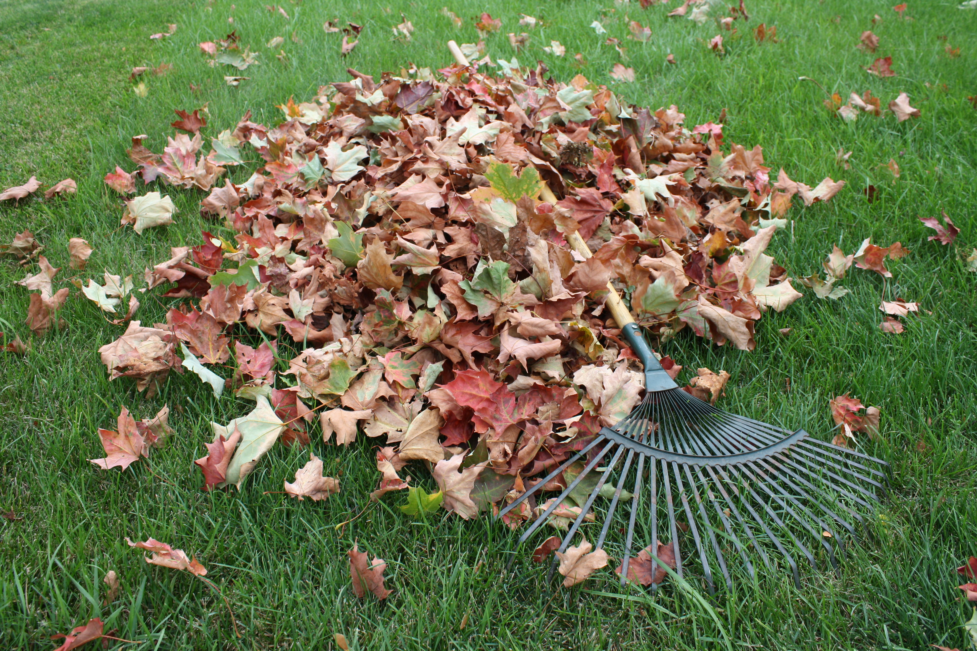 Pile of fall leaves that have just been raked