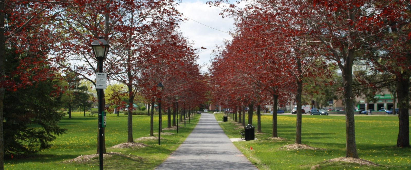 Two rows of red trees lining path in Cornwall Lamoureux Park